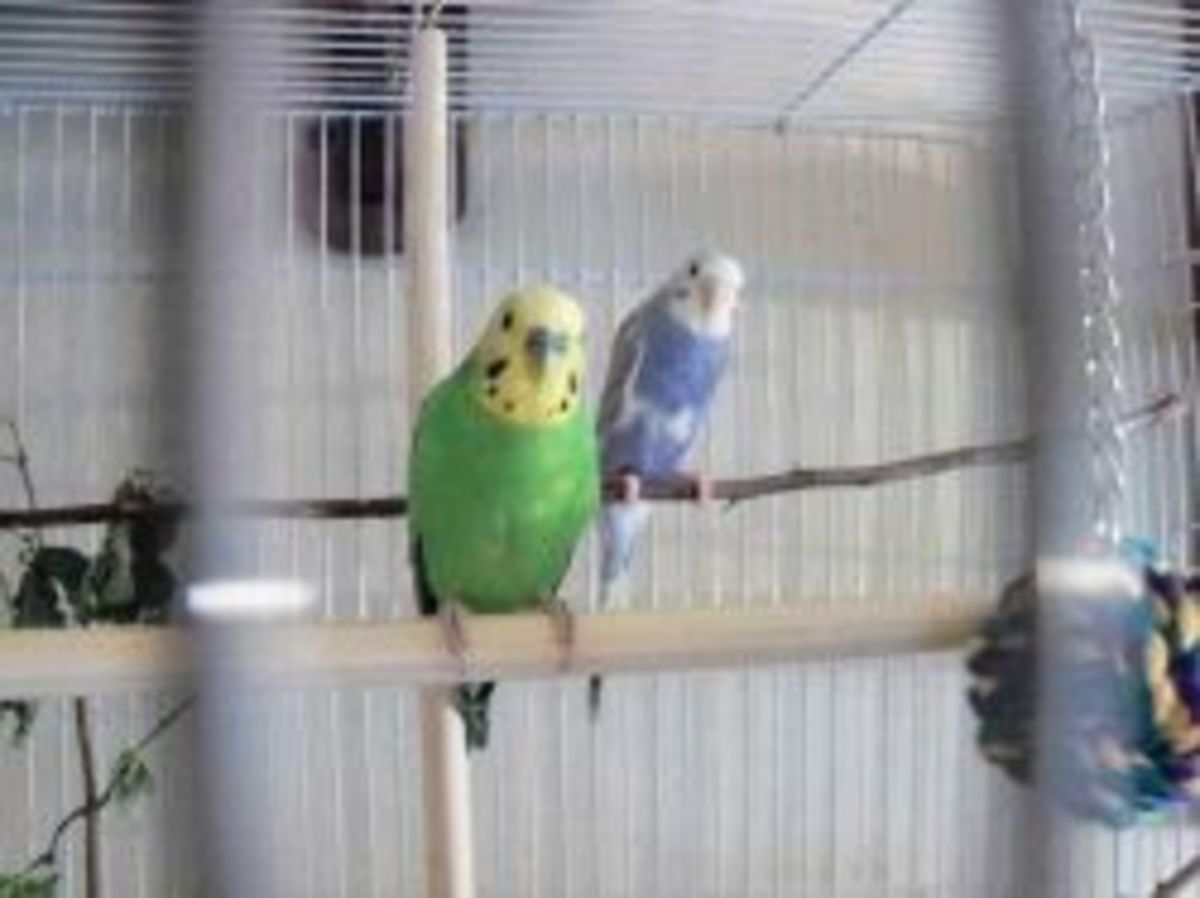 Parakeet friends.