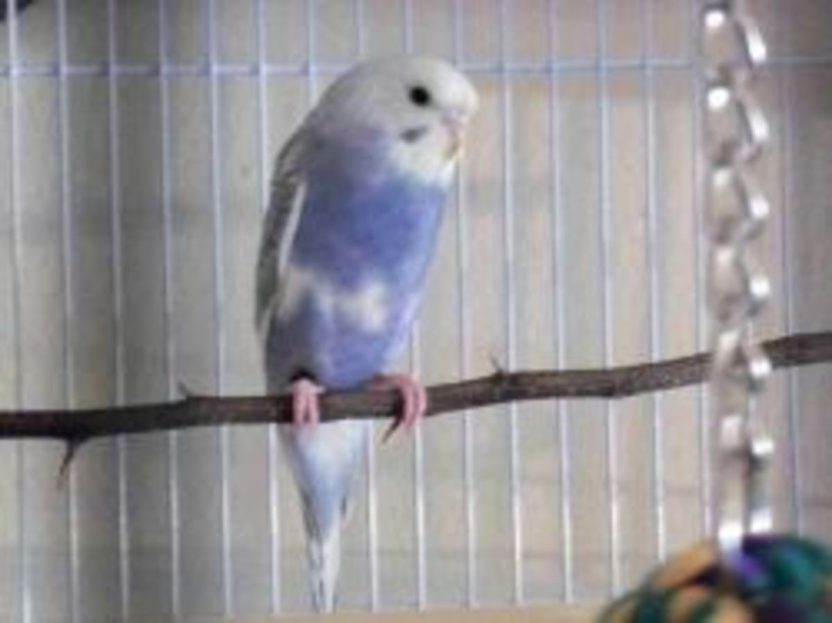 Blue and white parakeet perched on a branch.