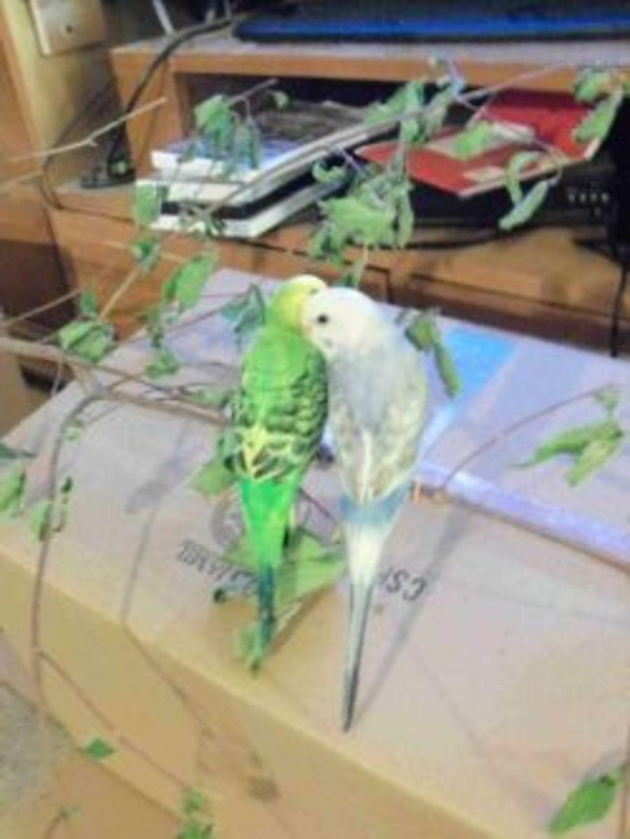 Parakeets snuggling.