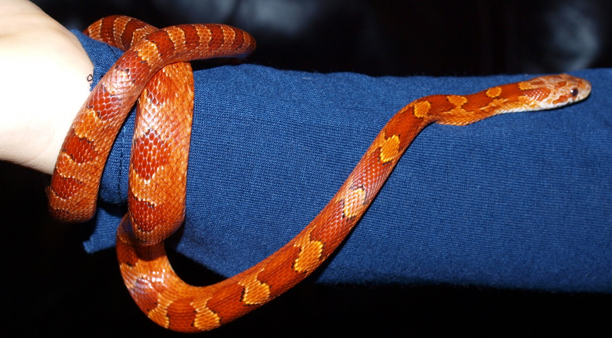 'Chilli,' our bloodred corn snake.
