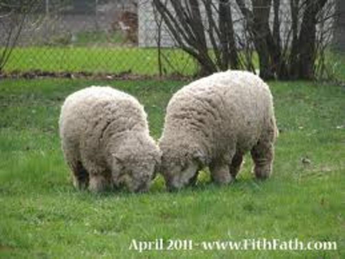 Old English Babydoll Southdown Sheep Adults.