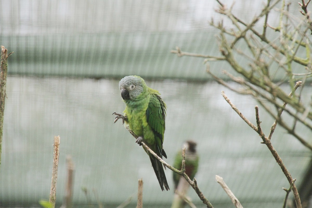 A dusky conure at Beale Park in Reading, England