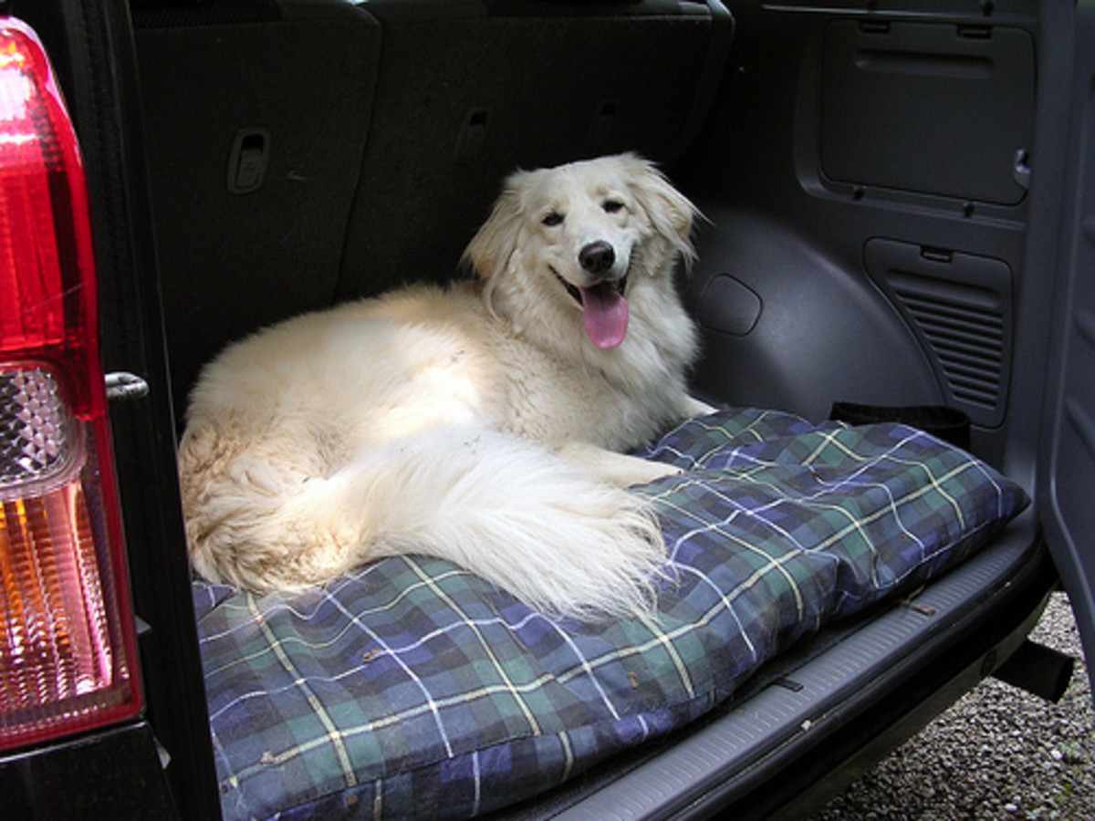 A Happy Dog in the Back of a Car