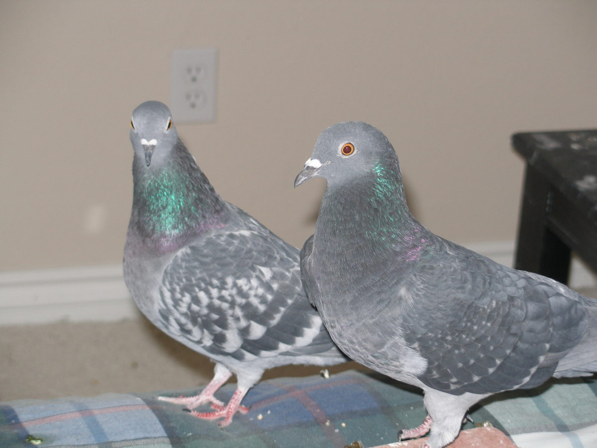Should you bring sick pigeons into your home?