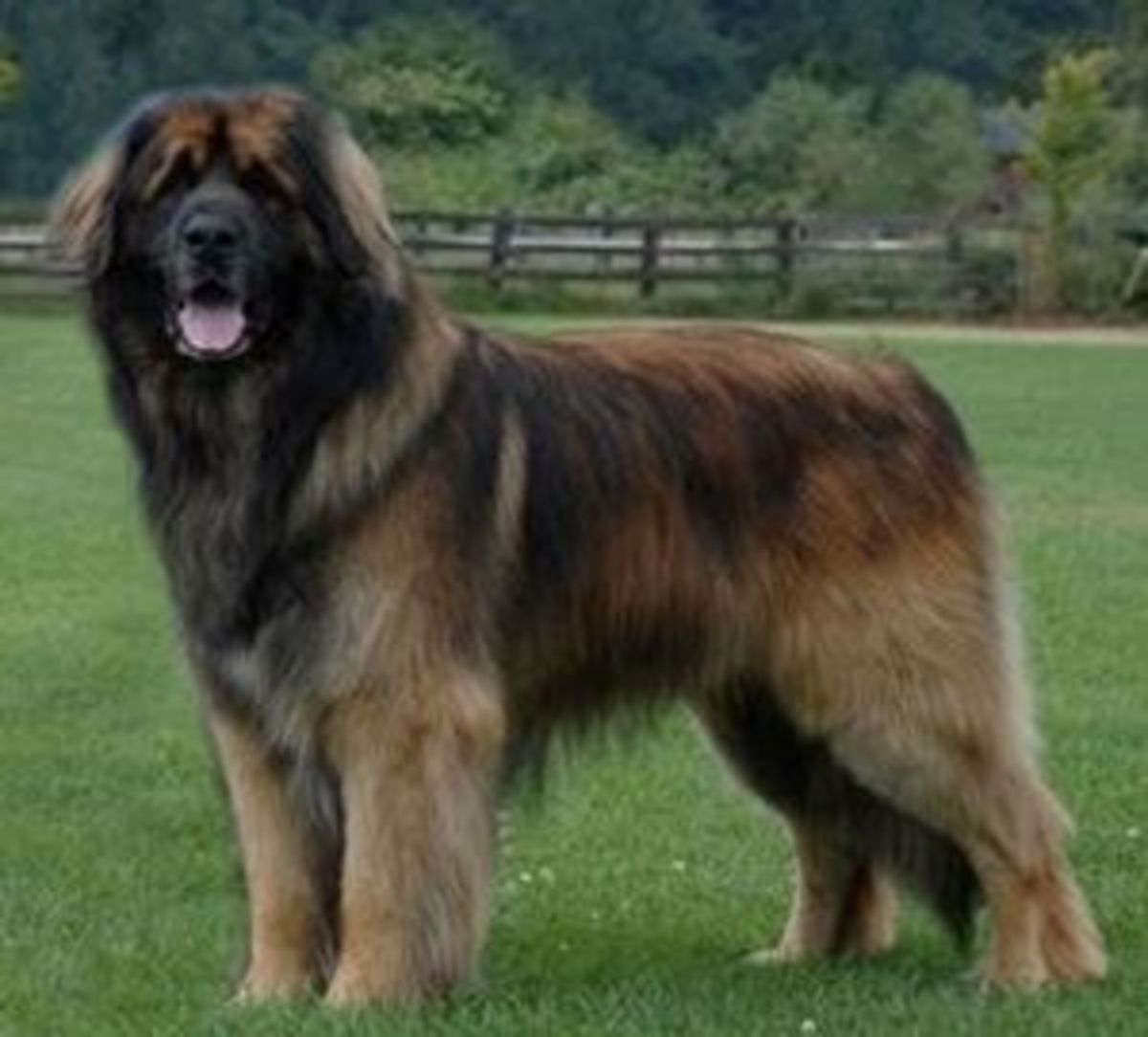 Top 10 Largest Dog Breeds