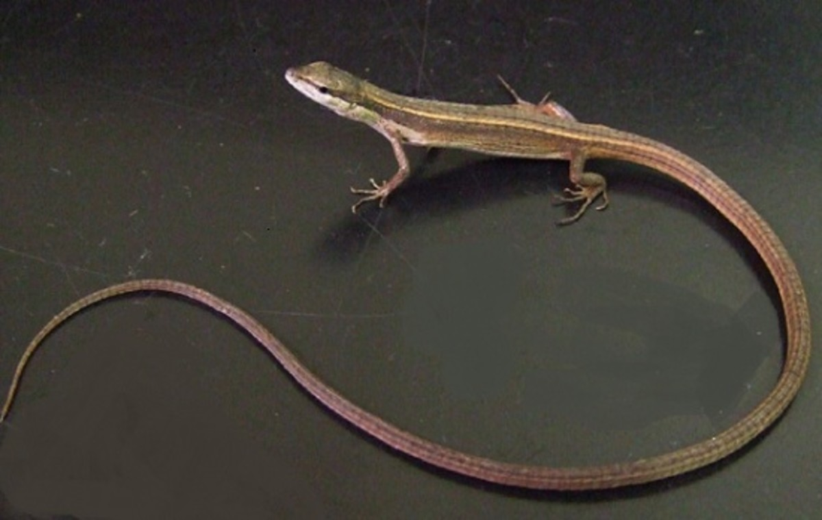Long tail lizards have...very long tails.