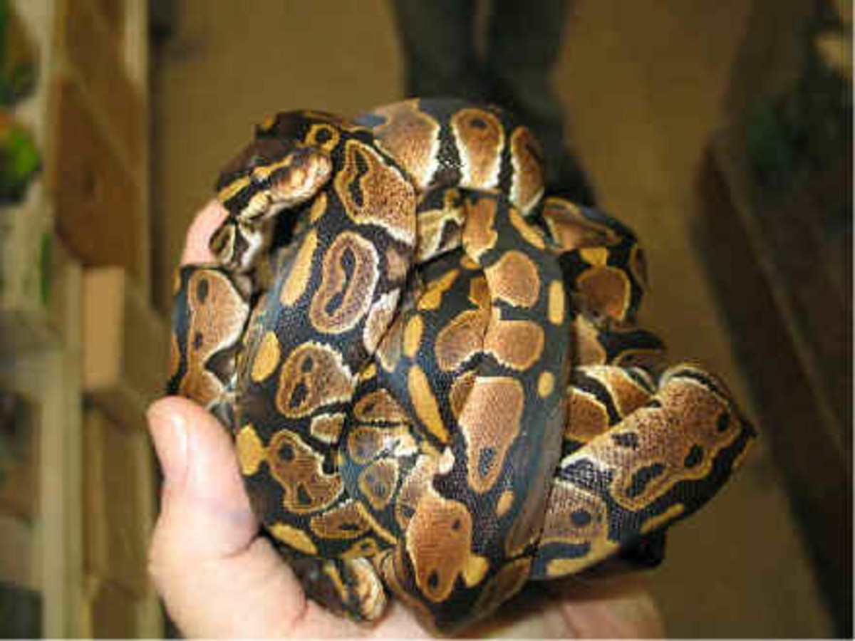 A ball of ball pythons make be cute, but it can be stressful to the animals depending on their standard of care and individual personalities.