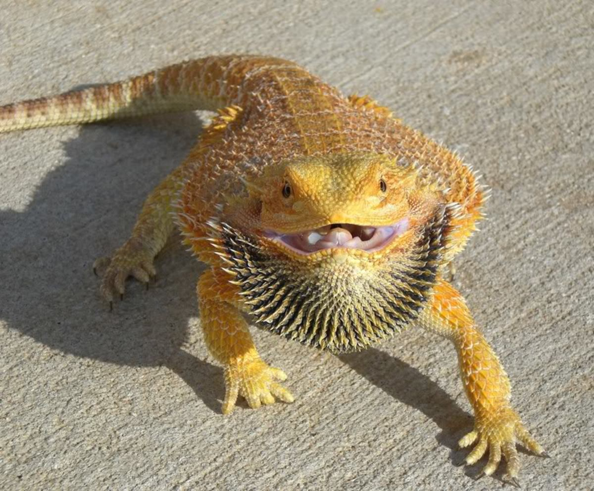 """The darkening of the throat is where the 'beard' in this dragon's name came from. A blackened beard means """"go away!"""""""