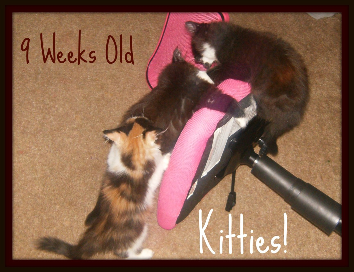 The kittens at 9 weeks old.  They were playing on the chair my son tipped over. lol.