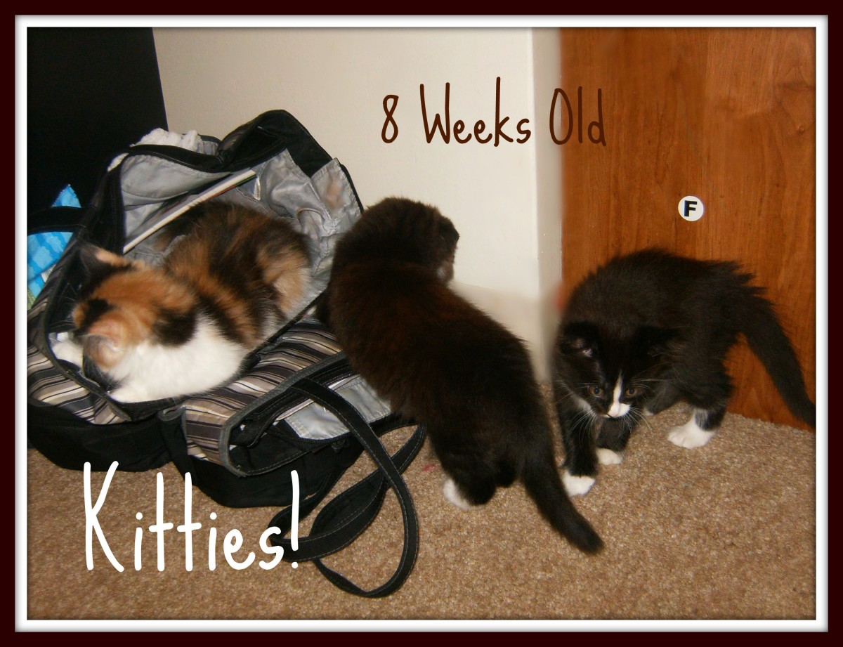 The kittens at 8 weeks old.  They get into everything now. lol.