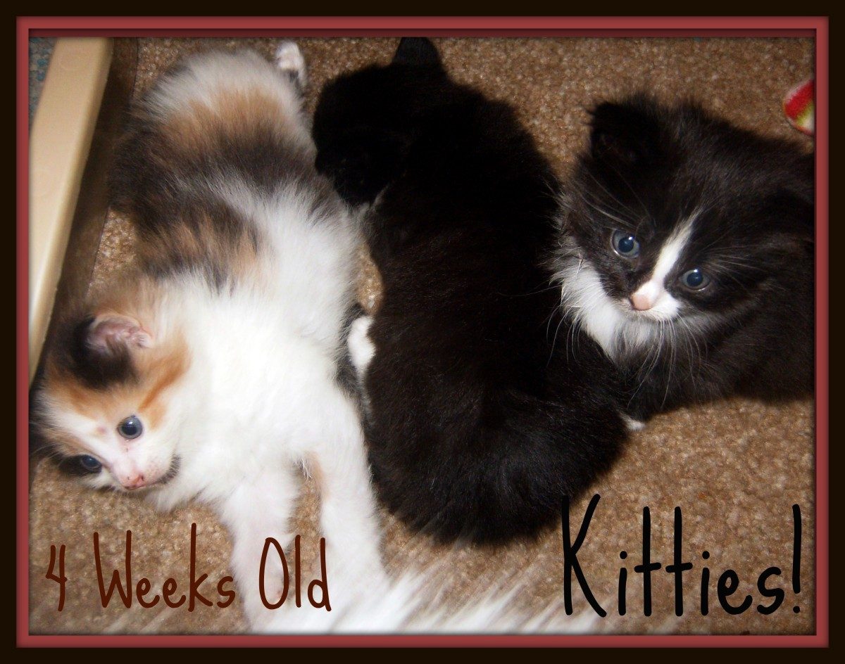 The kittens at 4 weeks old.  They are now a month old and getting so big.  They walk and try to run around. They even drink out of their mom's water dish sometimes.