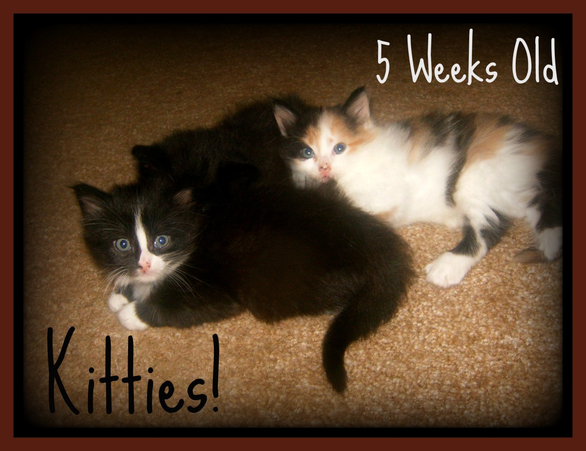 The kittens at 5 weeks old.