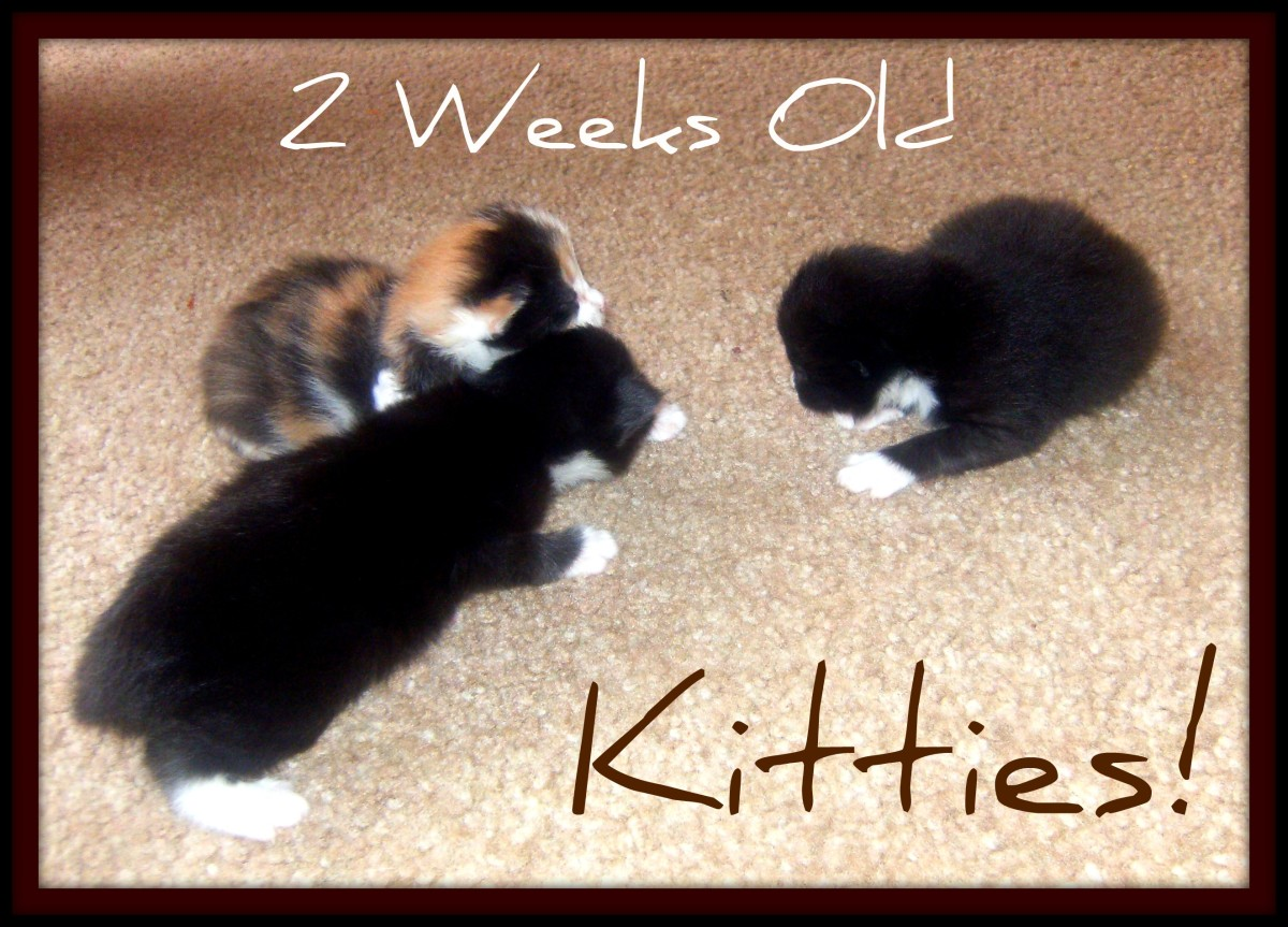 The kittens at 2 weeks old.