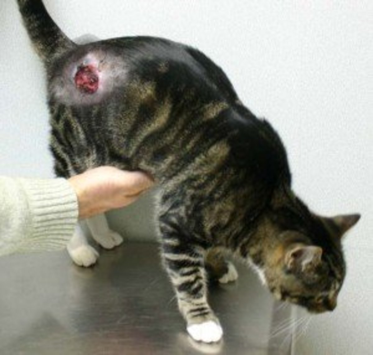 What a Cat Abscess Looks Like