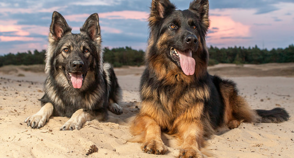 German shepherds hanging out at the beach.