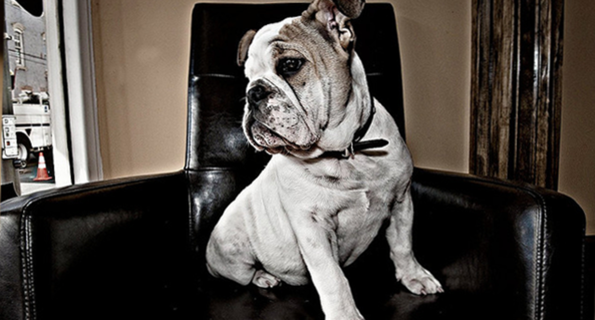 A bulldog in a shaving parlor.