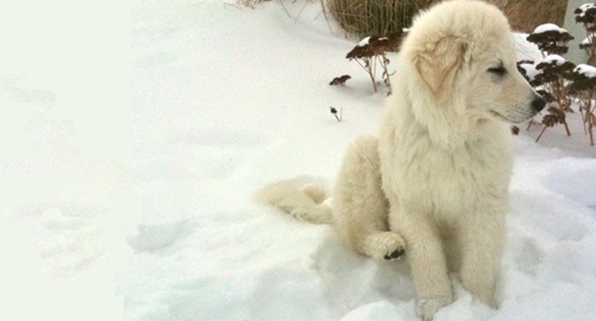 A kuvasz puppy.