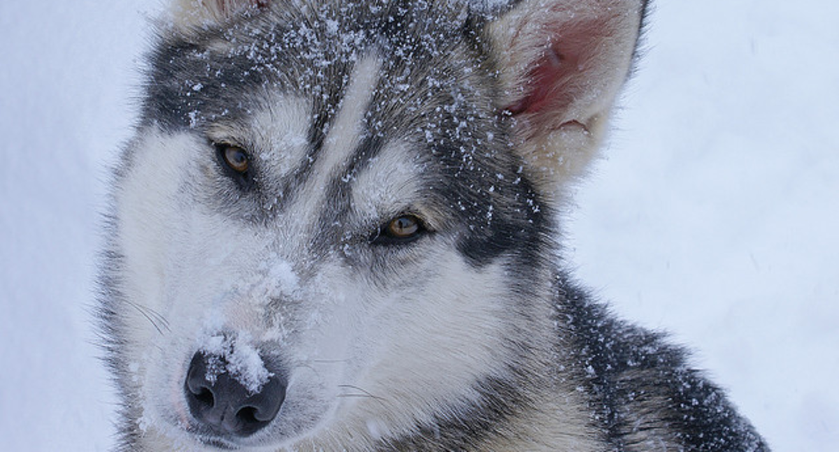 Huskies do well in cold climates.