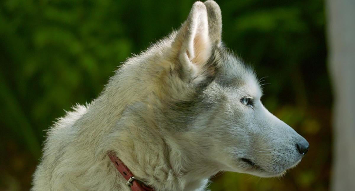 A Siberian husky in profile.