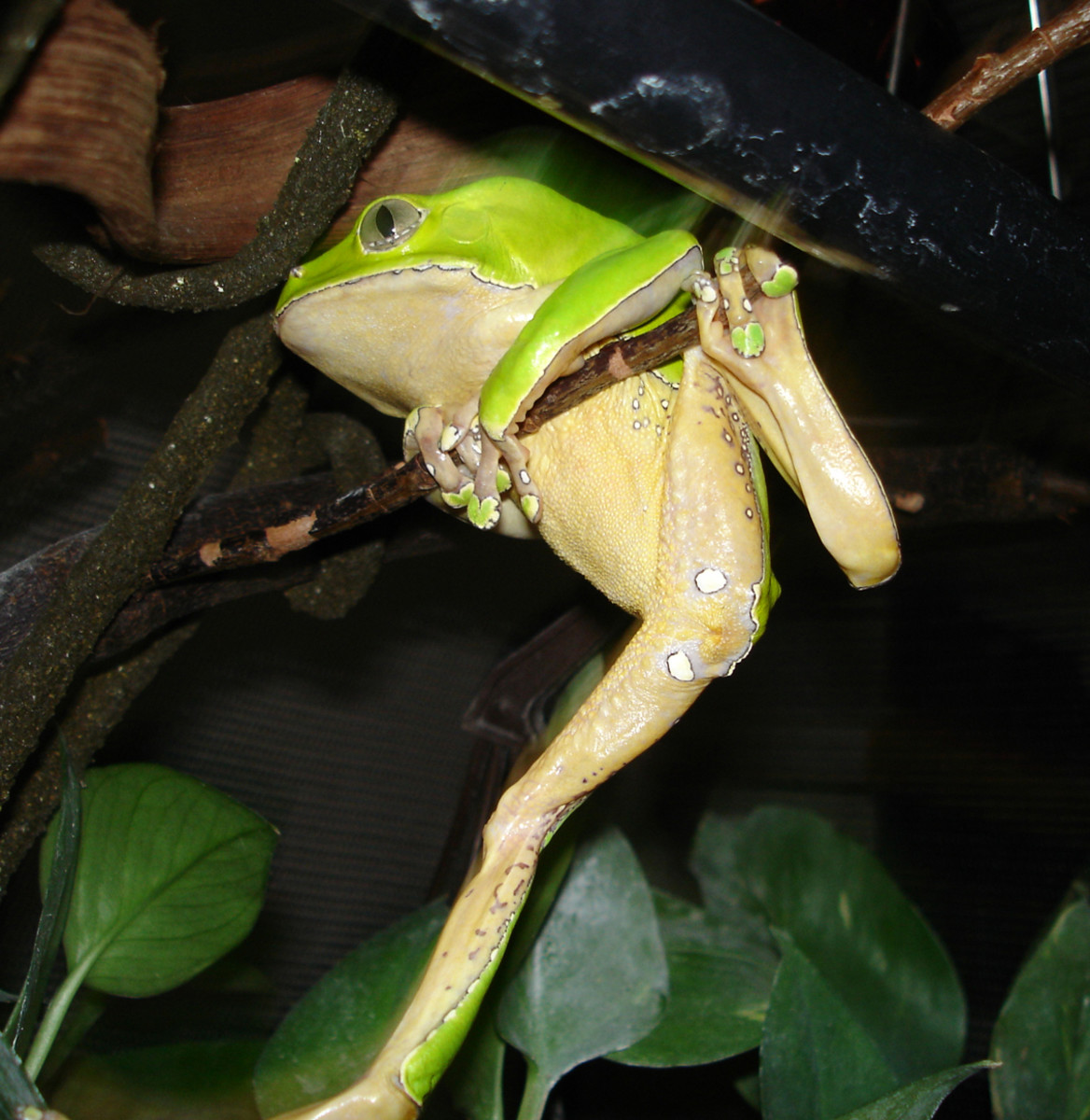 The giant waxy monkey frog likes thin branches which it can grap with its hands
