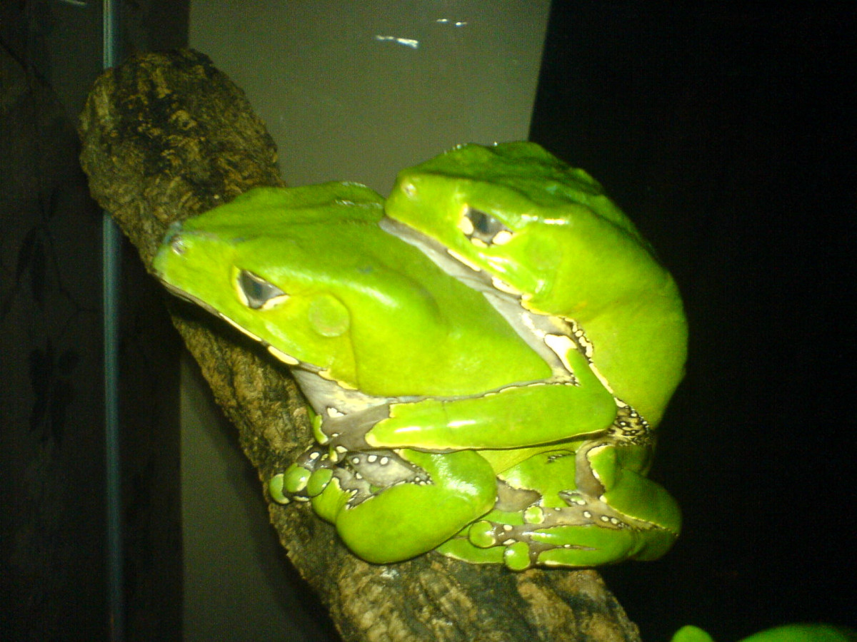 P.bicolor frogs are bred in captivity.  CB frogs should make much better pets than wild caught ones.