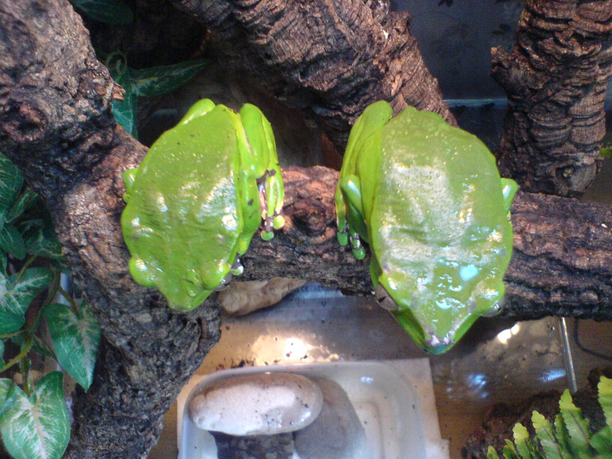 Female frogs are larger than males.