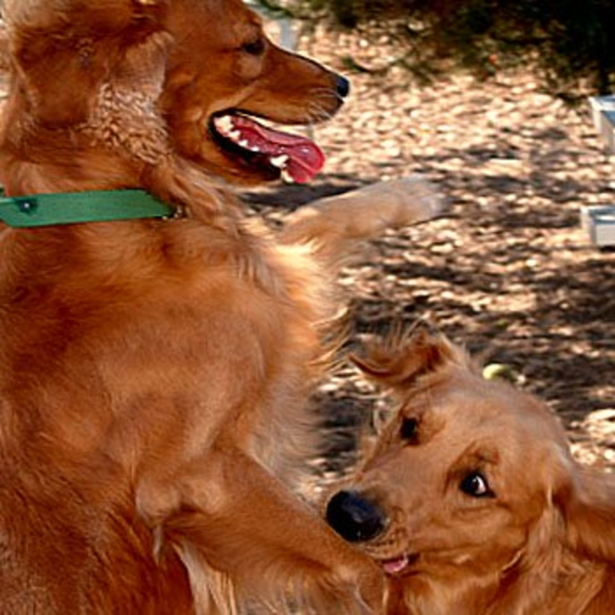 Never take a female dog who is  in heat to the dog park! This can cause a frenzy of miss behavior among normally obedient dogs.