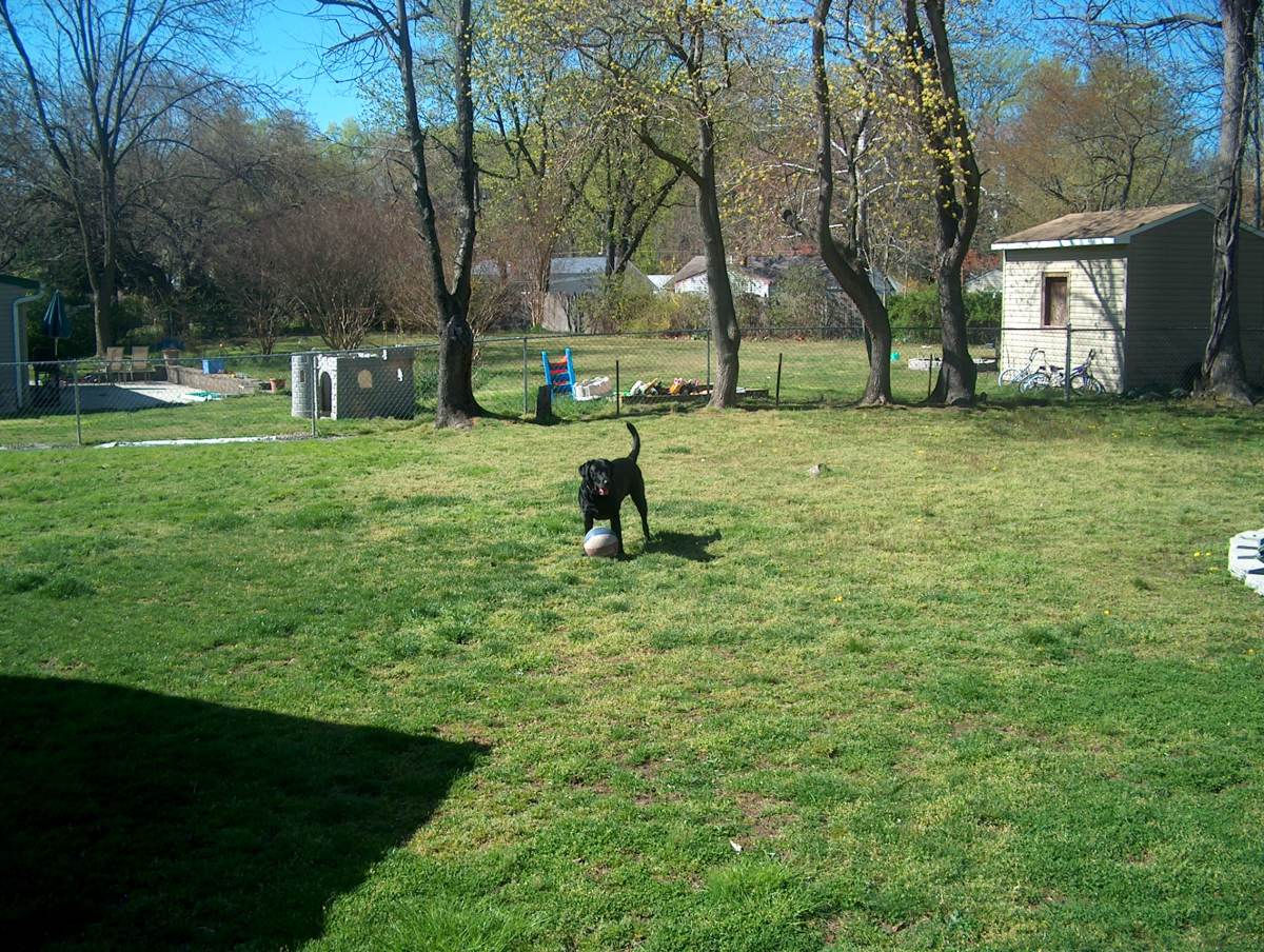 Thor playing in his yard