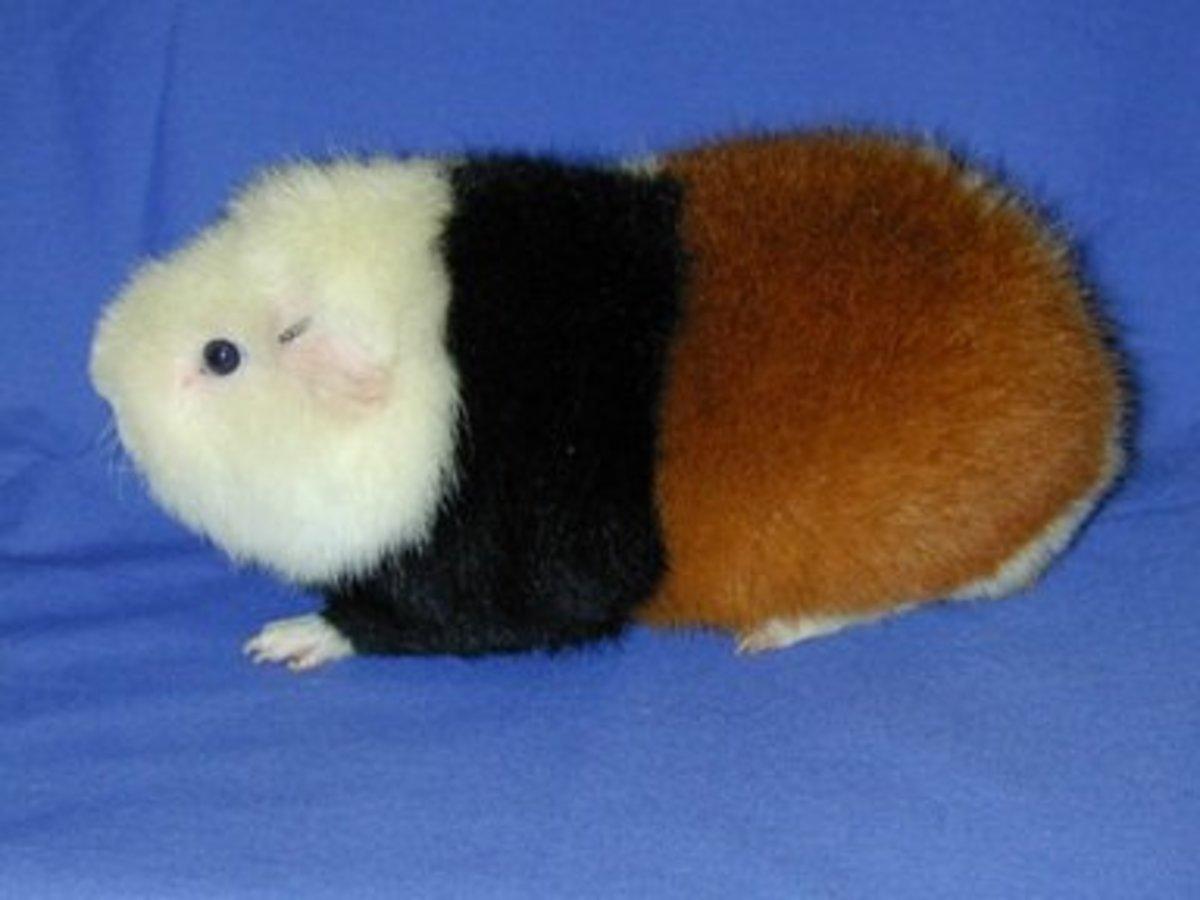 A teddy guinea pig.