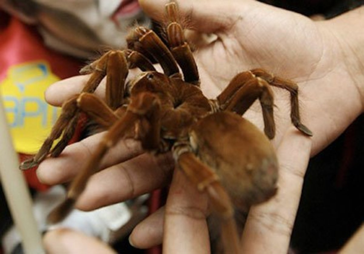 Bird-Eating Tarantulas are among the largest spiders in the world!