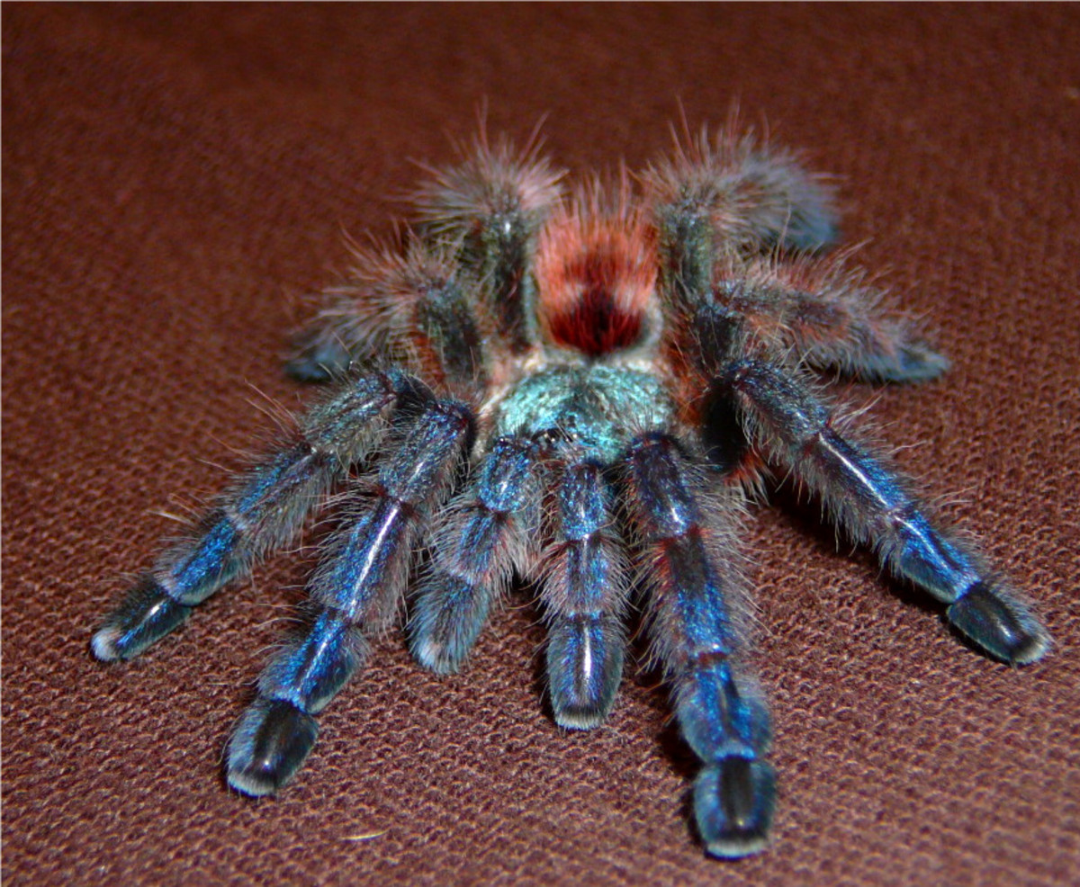 Pink-Toe Tarantulas are known for their unique coloration.