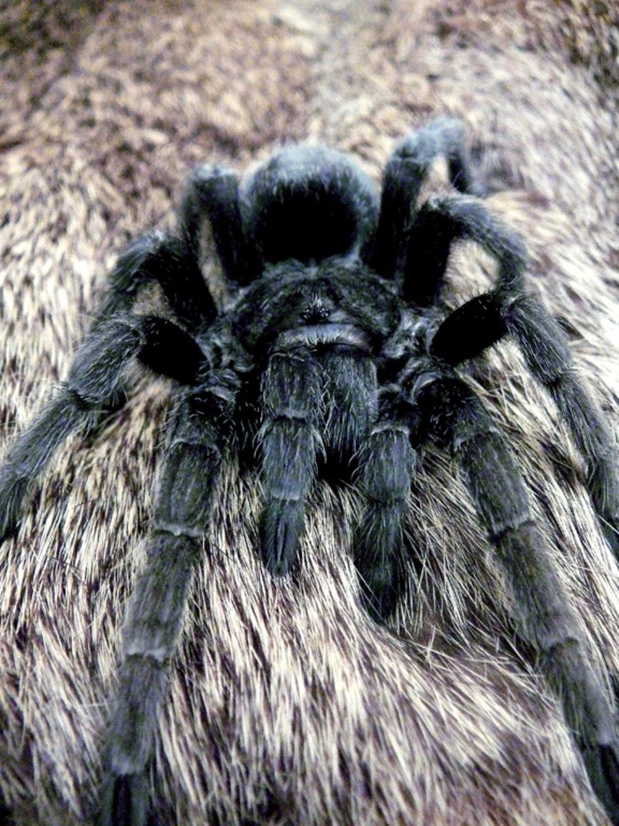 Tarantulas really are more afraid of you than you are of them!