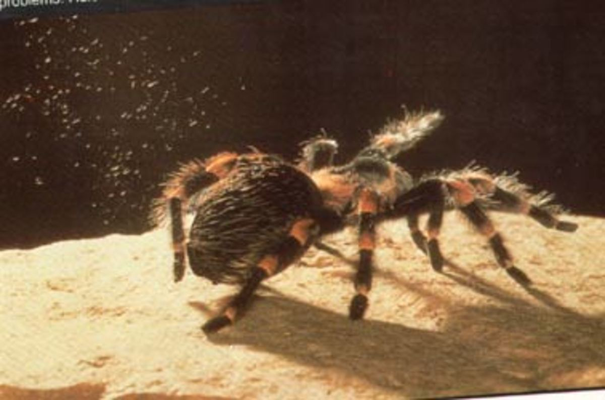 Brachypelma smithi kicking up hairs.