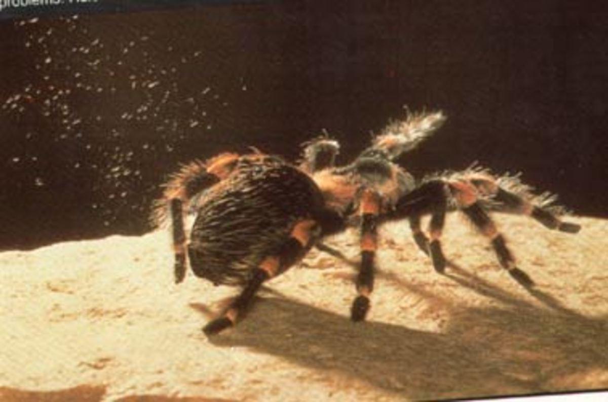 Brachypelma smithi kicking up hairs