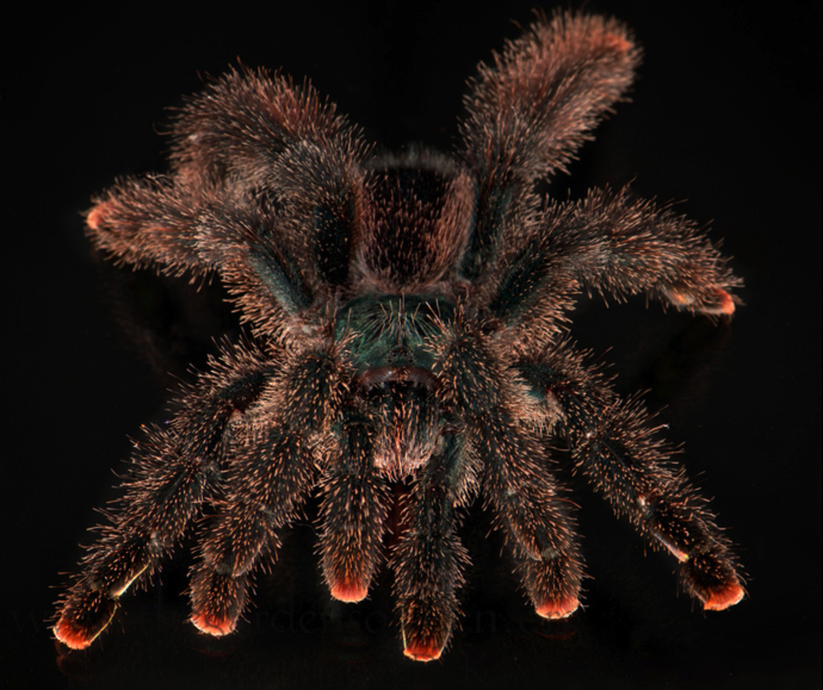 Some spiders, like this Avicularia, can be quite jumpy when held.