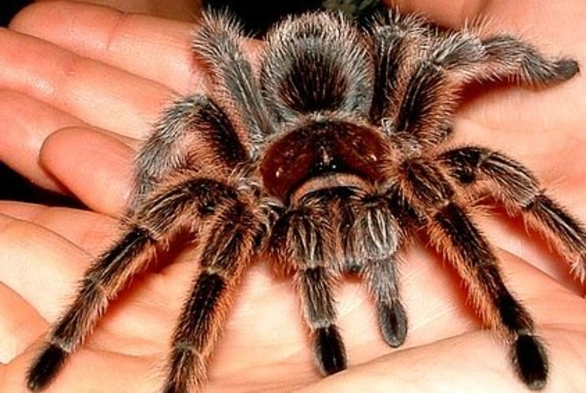 The Rose-Hair Tarantula is one of the most popular arachnid pet species due to its docile nature.
