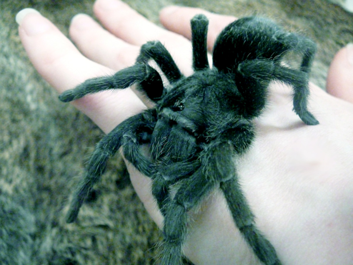 The docile Grammostola pulchra makes an excellent first-time tarantula.