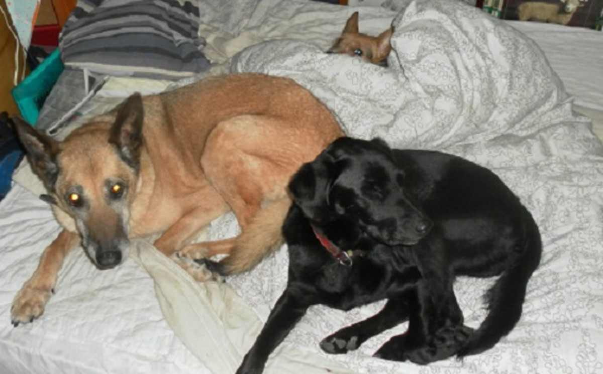 This is my current dog family: Nettle, Bruno Labrador and Bob