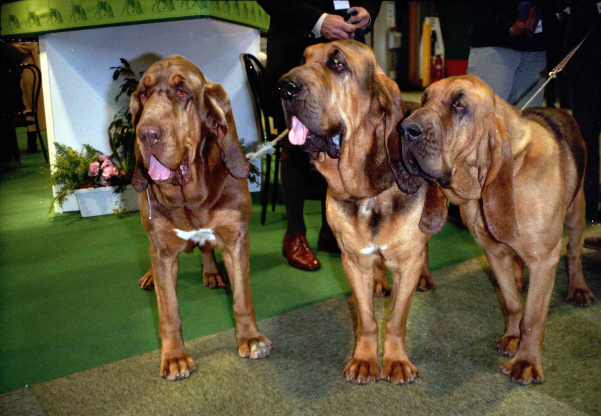 Bloodhounds - hound group