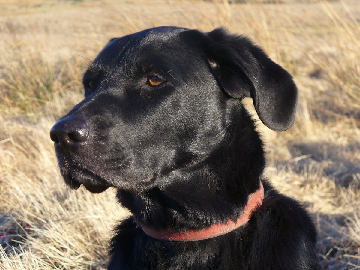 Labrador Retriever - Gun Dog Group