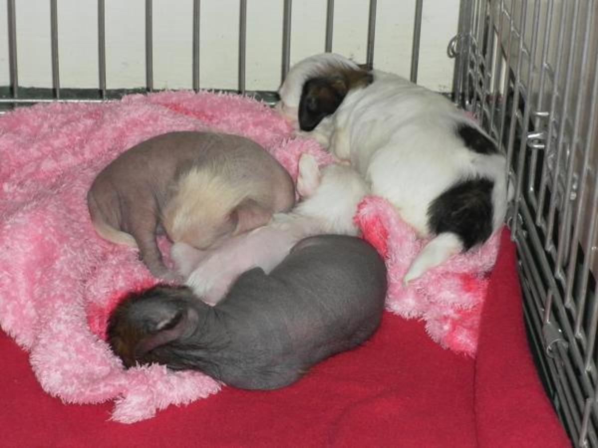 Chi Chi Puppies at Three Weeks Old (chihuahua x Chinese crested - a Toy Group Mix