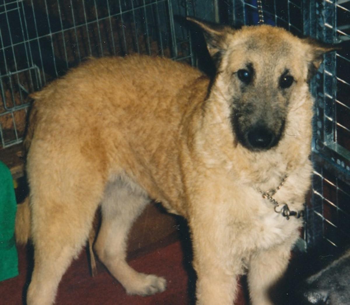 Belgian shepherd dog - Laeknois variety