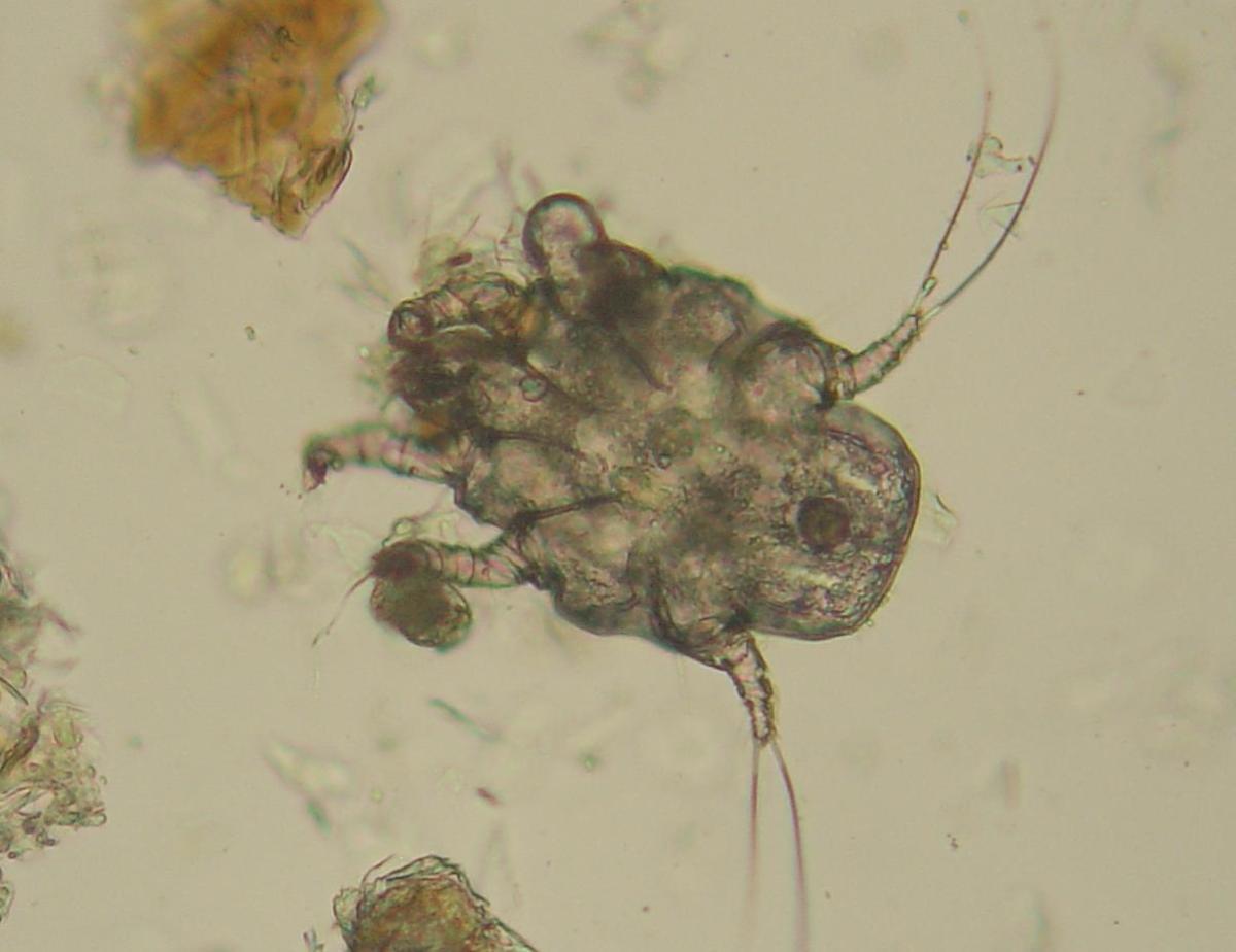 """Otodectes cynotis: The dog """"ear mite."""""""