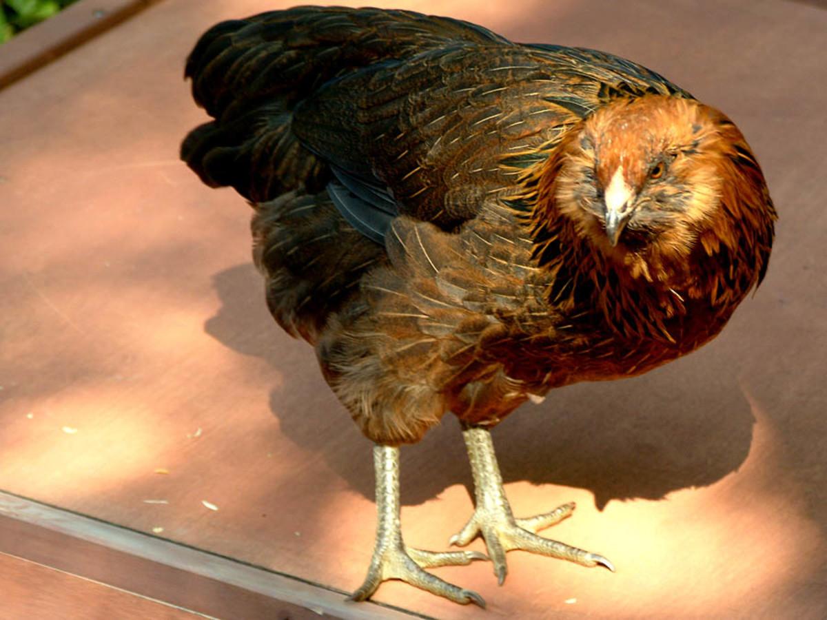 "Every so often our hen ""Stevie"" will check the henhouse roof for leaks,...so far so good!"