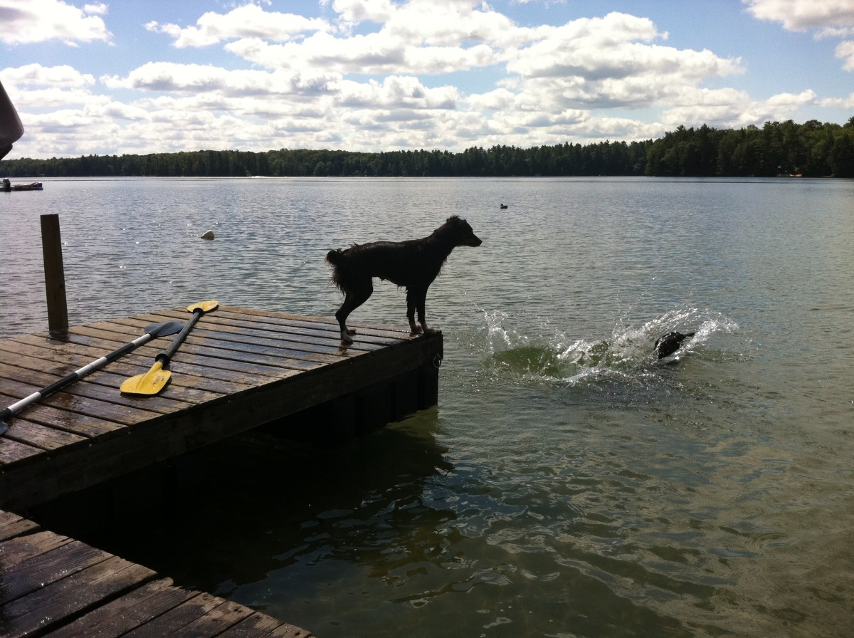 Dogs taking turns jumping off the dock at the cottage.