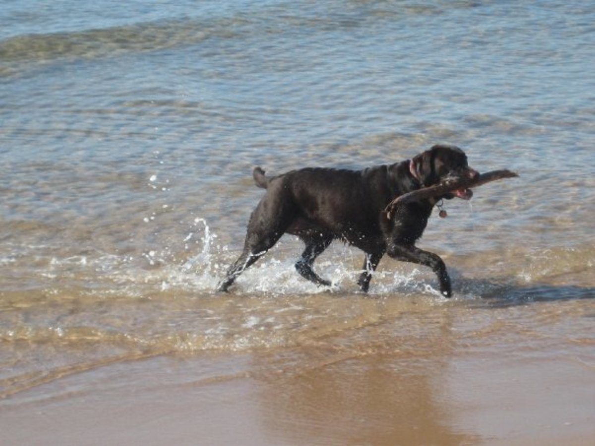 Zoey fetching a stick from the ocean in PEI.