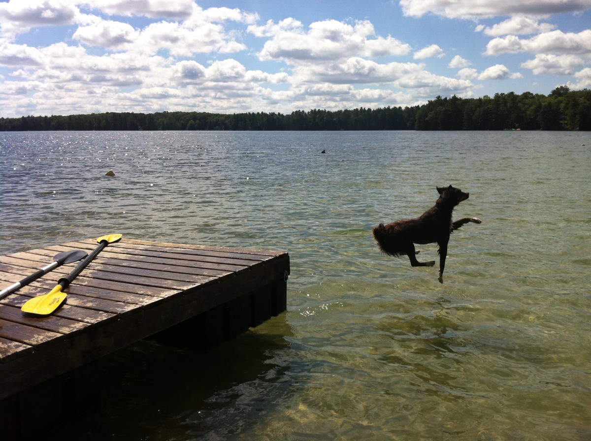 Our dog Maggie jumping off the dock into the lake.