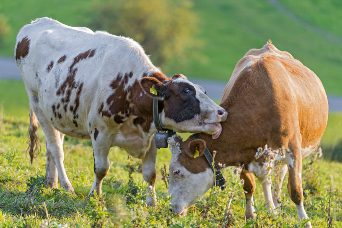 Cattle are more likely to be raised using poor factory-farming methods.