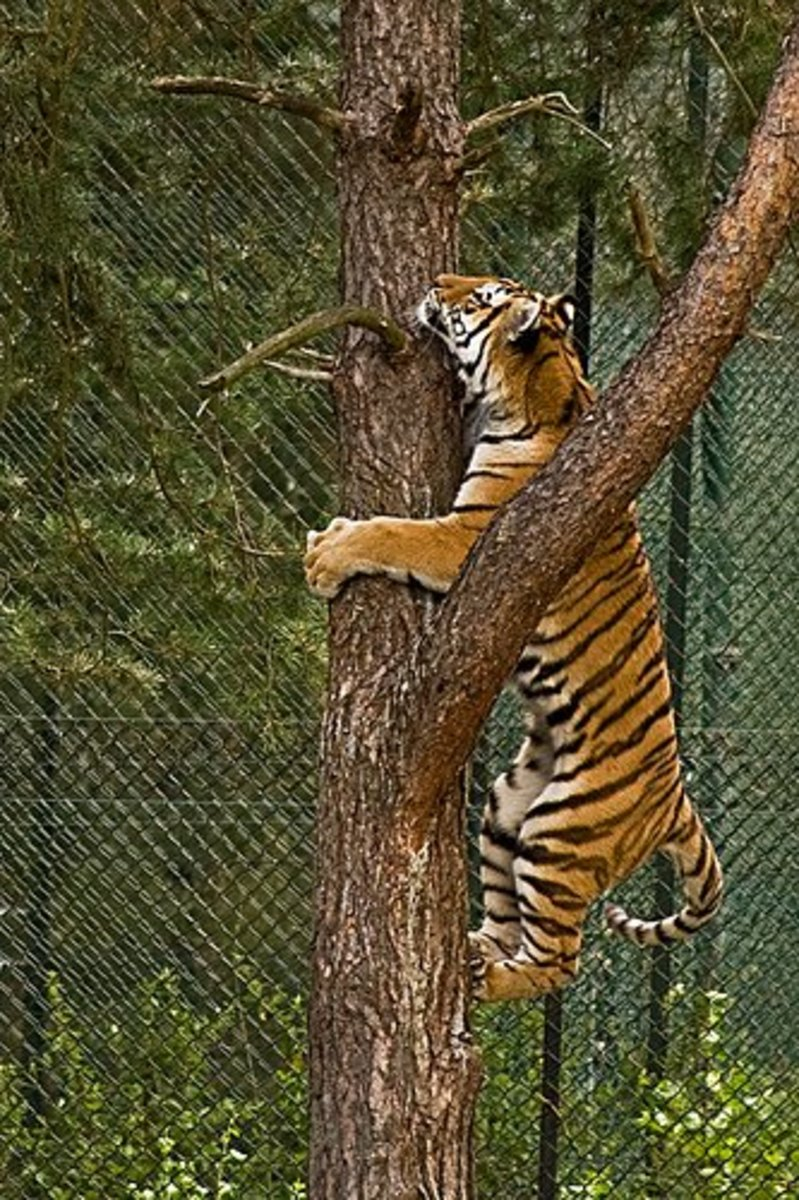 Tigers should have dynamic cage furnishings.