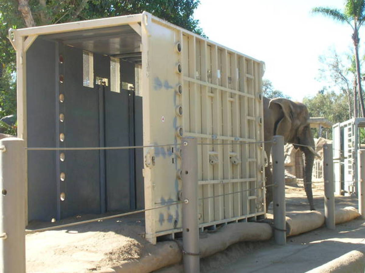 Crate training an elephant at the Los Angeles Zoo. The transport crate is positioned so that the animal must walk through it as part of its daily routine.
